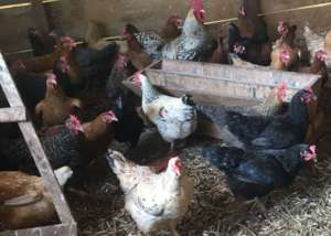 A sustainable Smallholder Family Poultry Farm