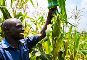 Harvesting the corn!