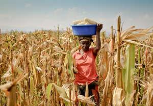 Bringing in the corn