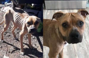 Sadie when she was rescued (left) and today