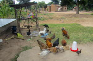 Chickens of an Iganga cooperative member