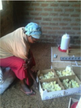 Cooperative participant looks over the new chicks