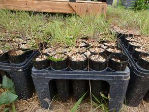 Ponderosa pine tree seedlings
