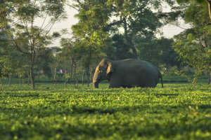 Elephant moving through Tea-garden PC: Avijan Saha
