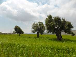 The old olive trees with wheat growing beneath