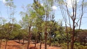 moringa trees in the farmers farms