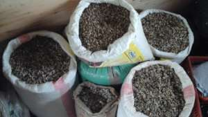 sourced moringa seeds