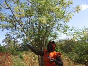 A farmer harvesting moringa leaves and seeds