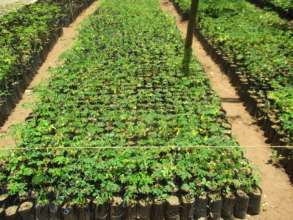 DNRC nursery with moringa seedlings