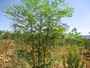 moringa mature trees in the farmers farms