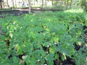 Moringa seedlings in the tree nursery