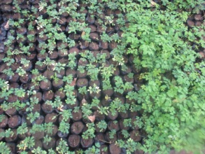 moringa tree saplings in the nursary