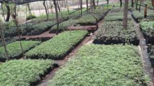 tree nursery with moringa seedlings and other spp