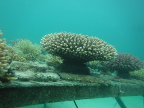 Mother corals will be trimmed to restore reefs