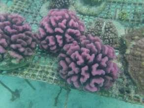 Pink Pocillopora Super Corals, Kiritimati
