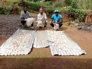 Good mushroom output from maize cobs substrate