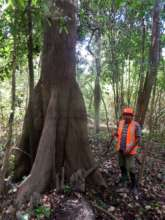 Leader of community showing us the tree Lupuna