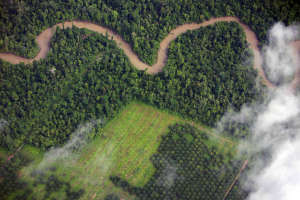 Destruction of forest for palm oil production