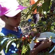 Kaue harvesting coffee