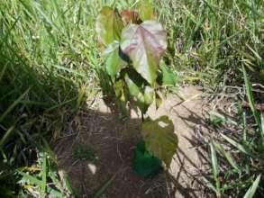 Urucum seedling in the reforestation