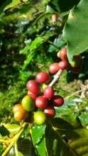 Adao's coffee