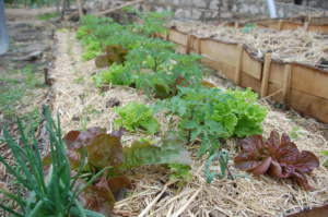 Organic garden offers healthy foods in a pandemic