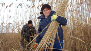 Local women harvesting reed