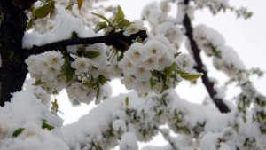 Flowering trees breaking under heavy snow