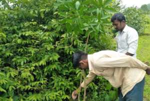 Fertilizers to Planted trees with local support