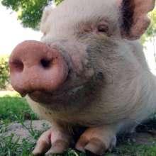 Ethel the Pig