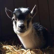 Leo, a newly rescued goat at Harvest Home