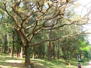 Copaiba tree