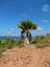 The rare Coco del Mer tree