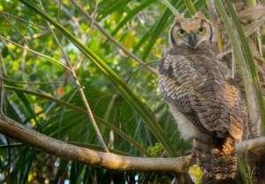 Elbert Greer's photo of the great horned owl