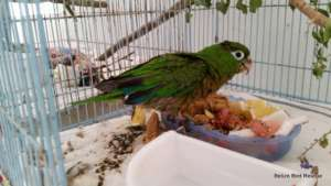 Parakeet youngster