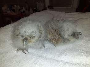 Pygmy owl chicks