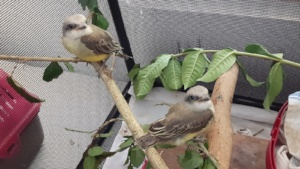young tropical kingbirds