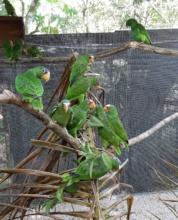 white-fronted Amazons enjoying the new enclosure