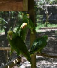 Yellow-headed Amazon babies