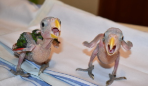 hatchling white-fronted parrots