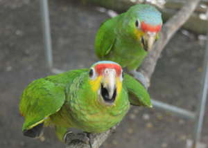 Red lored babies