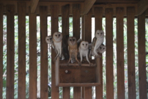 Some of the young Barn owls releases at BBR