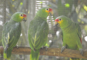 Three new red-lored parrot intakes