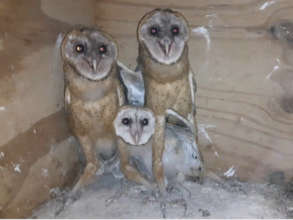 Barn owl chicks (yes, 4!)