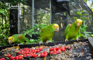 Release ex-captive yellowheaded Amazons