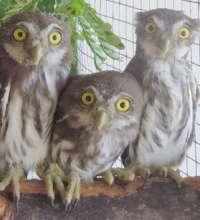 Pygmy owls at BBR