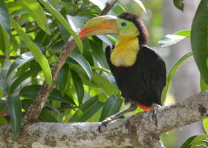 Released baby toucan at BBR