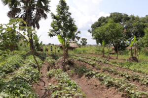 Farmers cropland with 2-yearold trees