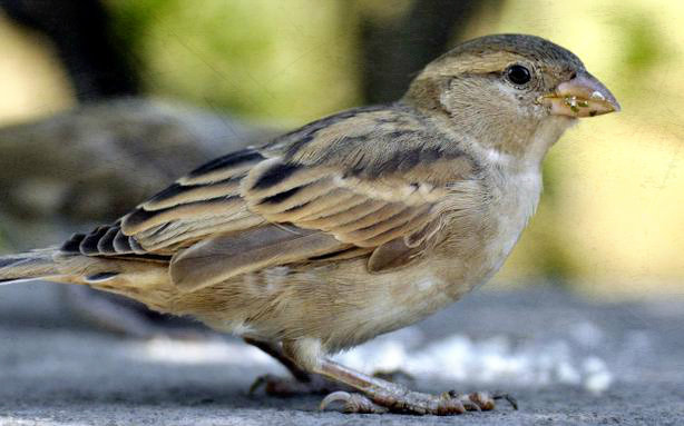 Save the innocent Sparrow Birds