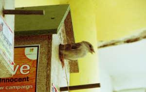 innocent Sparrow Birds